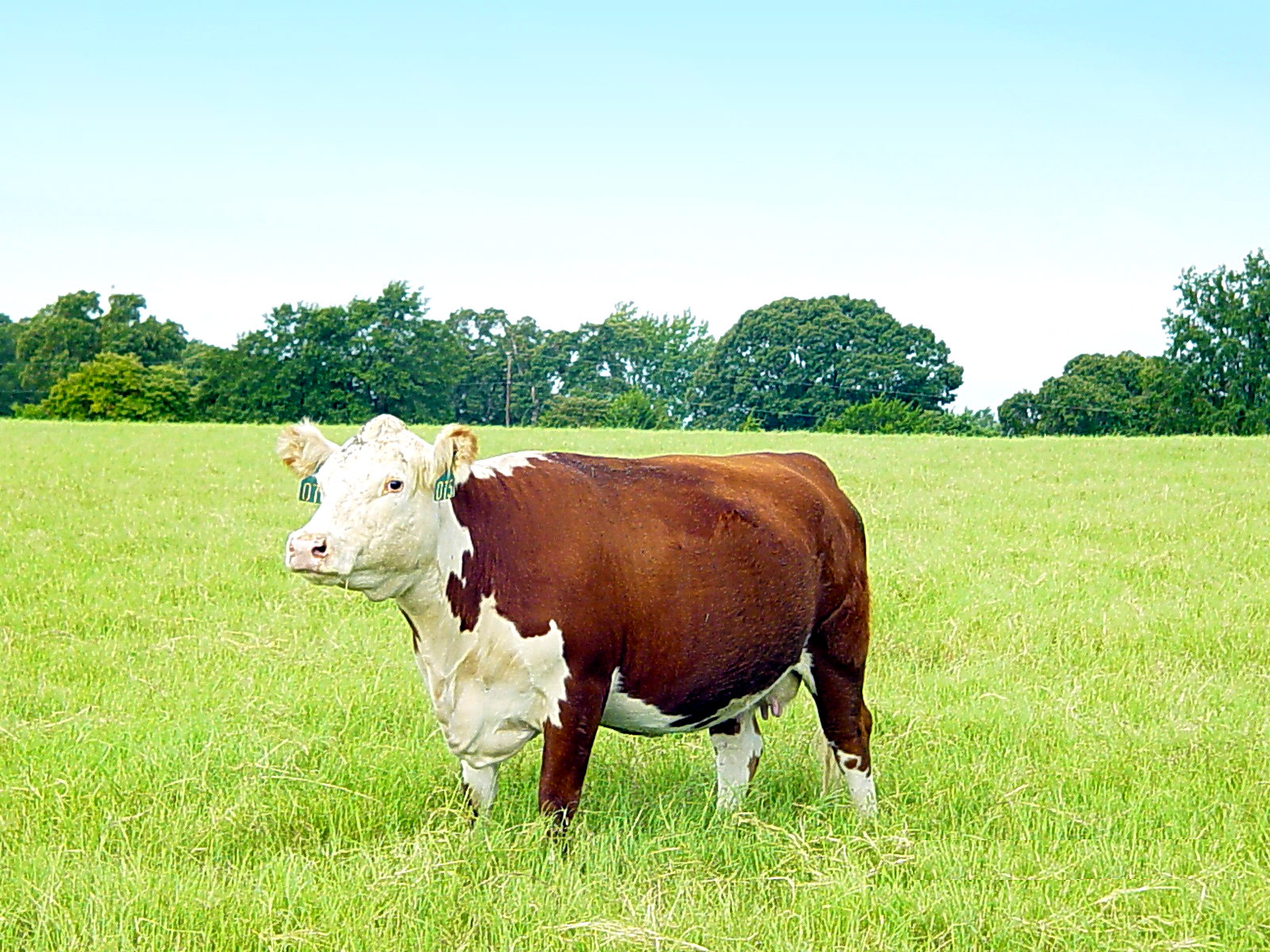 Ideal Trask Hereford Large